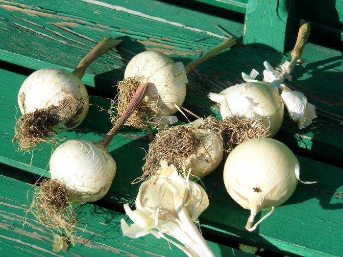 Выращивание лука анзур 48